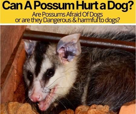 Can A Possum Hurt a Dog
