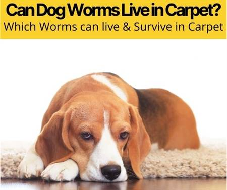 Can Dog Worms Live in Carpet