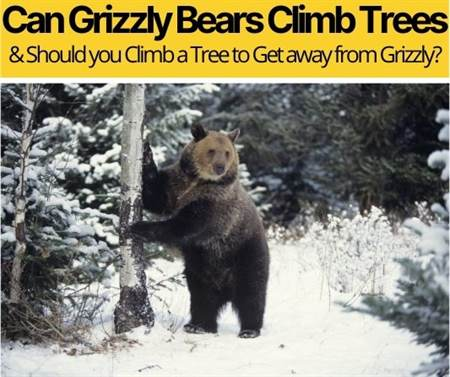 Can Grizzly Bears Climb Trees