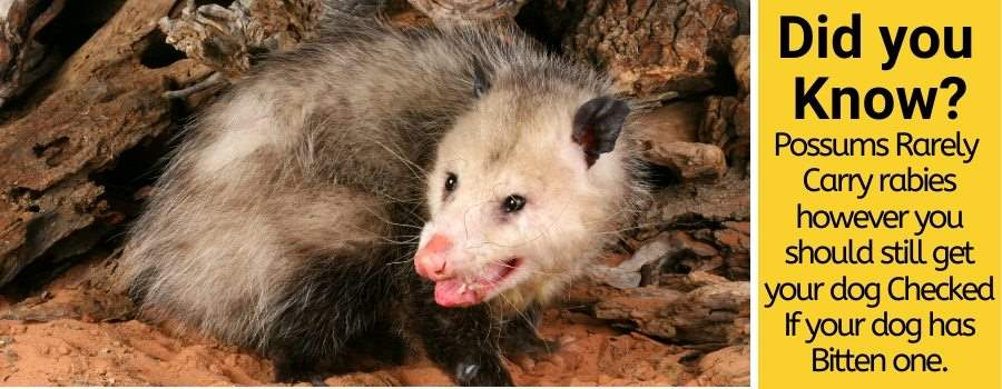 Can a dog get rabies from biting a possum
