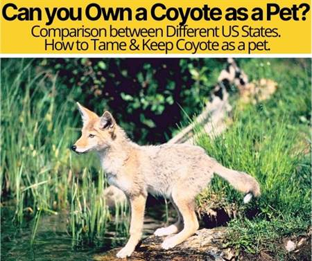 Can you Own a Coyote as a Pet