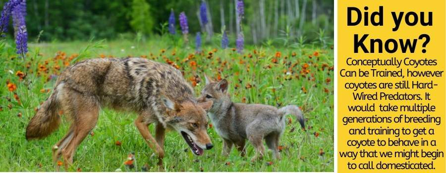 Coyote as a pet