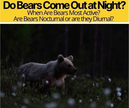 Do Bears Come Out at Night