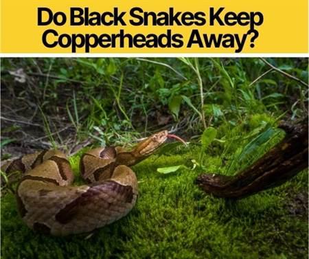 Do Black Snakes Keep Copperheads Away