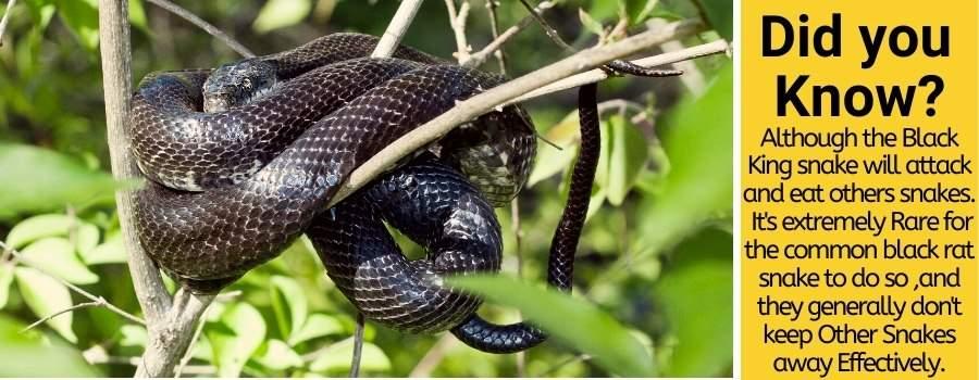 Do Black Snakes kill copperheads
