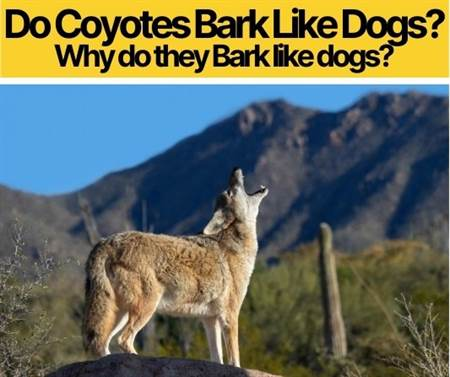 Do Coyotes Bark Like Dogs