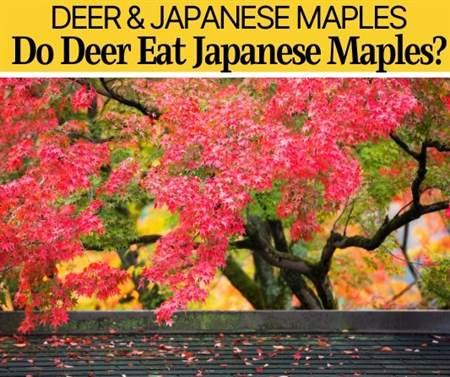 Do Deer Eat Japanese Maples