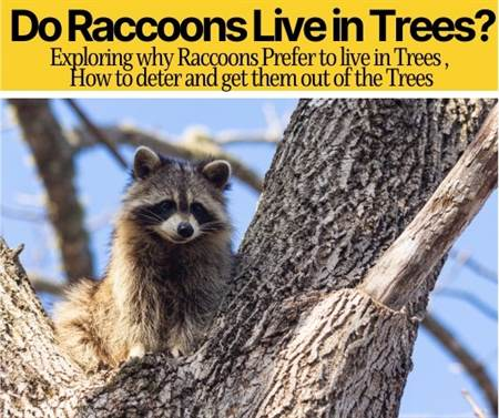 Do Raccoons Live in Trees
