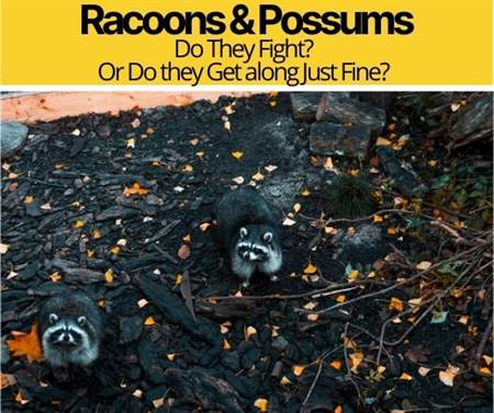 Do Raccoons and Possums Get Along