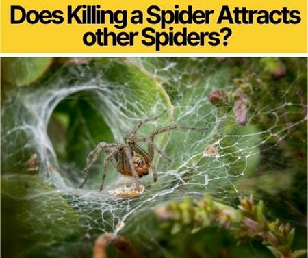 Does Killing a Spider Attracts other Spiders