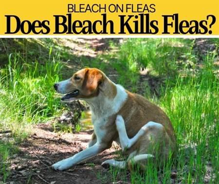 Does bleach kills fleas