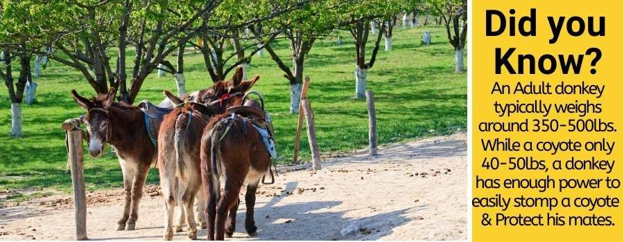 Donkeys can protect from Coyotes