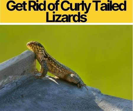 How To Eliminate & Get Rid Of Curly Tailed Lizards