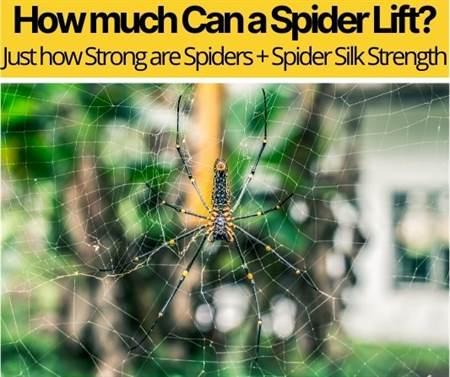 How much Can a Spider Lift