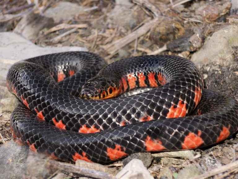 Mud Snake with orange belly
