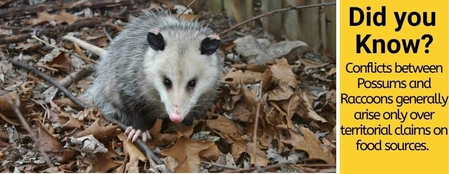Possum vs Raccoon