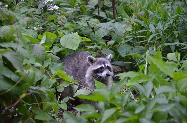 raccoon in a garden can eat apples pears and other vegetables