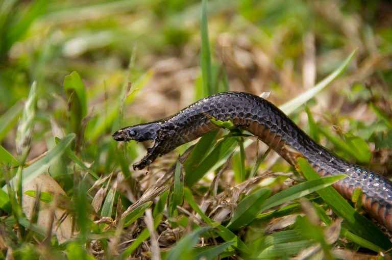 Red Bellied black snake with Orange belly