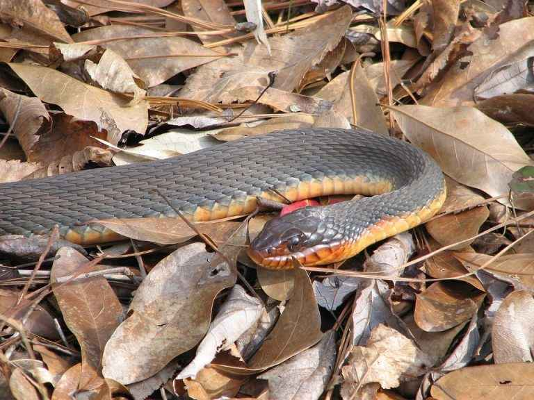 Red bellied watersnake with orange belly