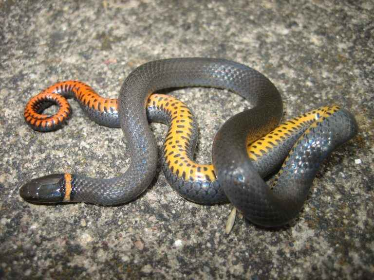 Ring Necked snake with orange belly