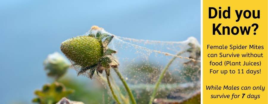 spider mites survive without plants