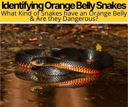 What Kind of Snake has an Orange Belly