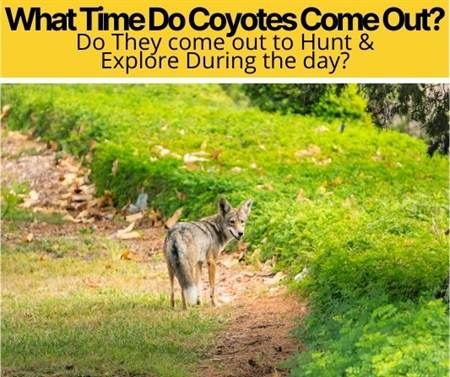 What Time Do Coyotes Come Out