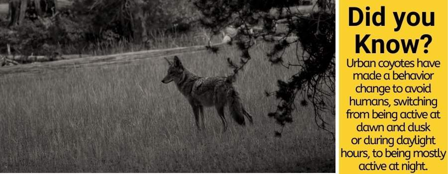 When are coyotes most active