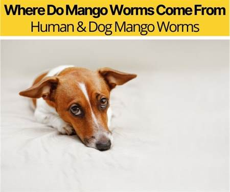 Where Do Mango Worms Come From
