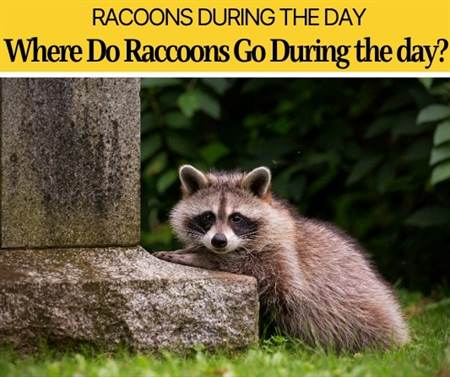 Where Do Raccoons Go During the day