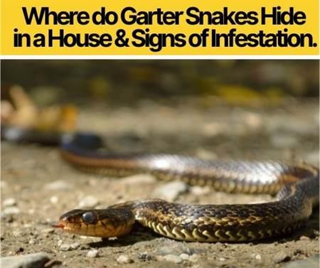 Where do Garter Snakes Hide in a House (1)
