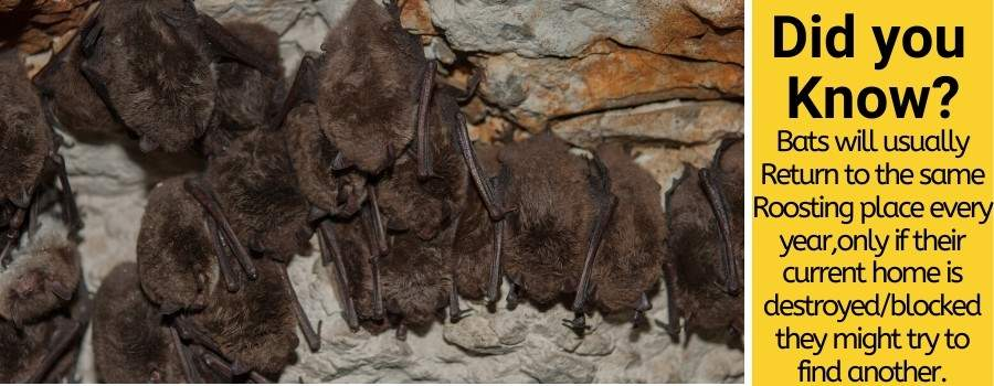 Where do bats roost and how to stop bats roosting