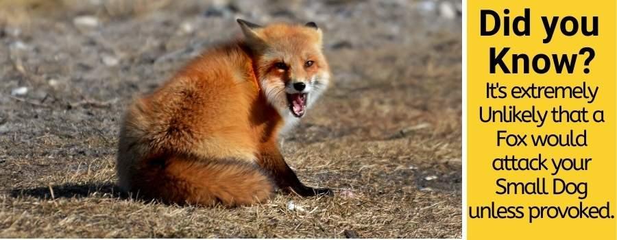 Will A Fox Attack A Small Dog