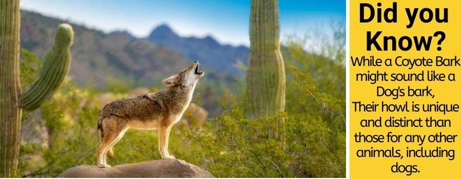 coyotes howl and bark like dogs