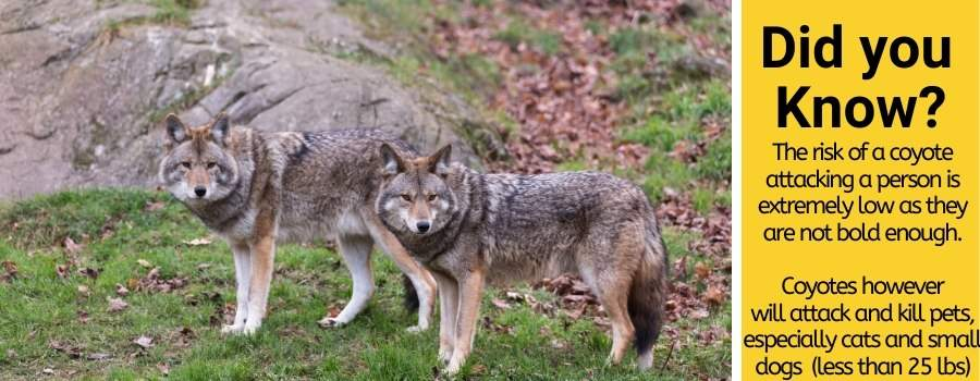 coyotes scared of humans