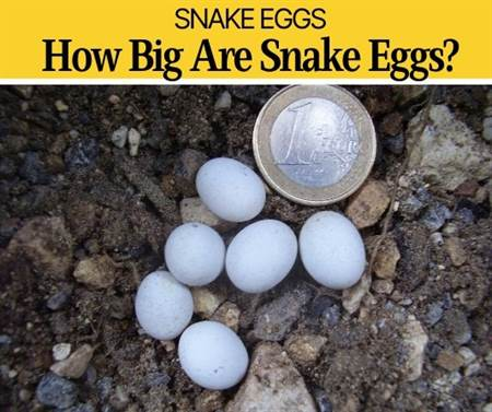 How big are Snake Eggs