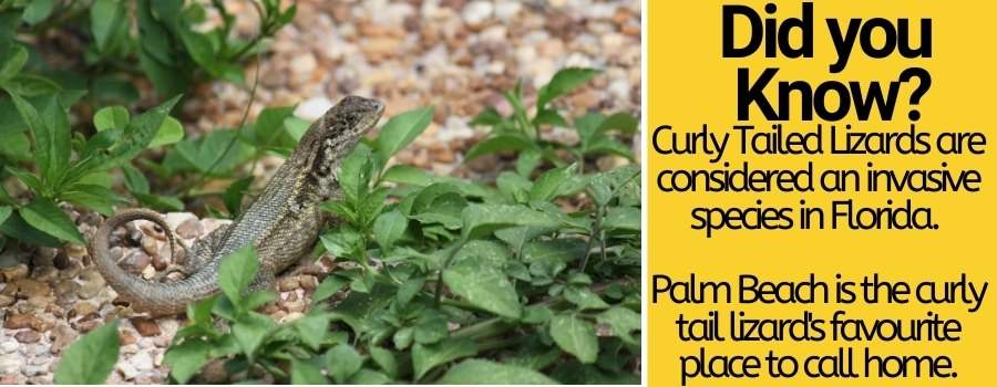 how to get rid of curly tailed lizards