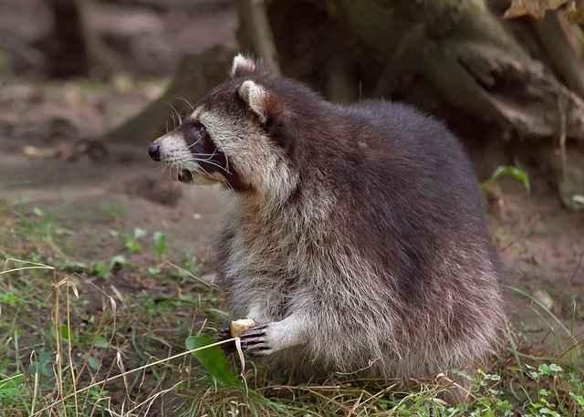 raccoon eating a vegetable