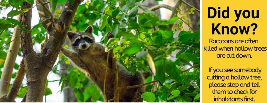 raccoons live in trees