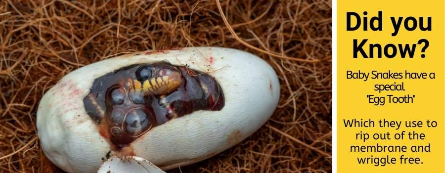 size of snake eggs