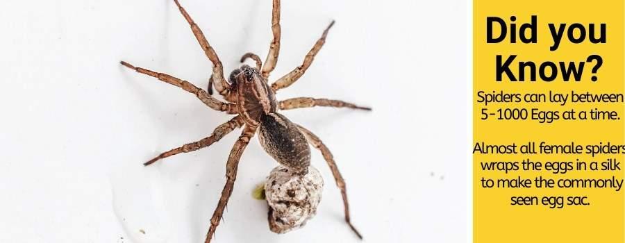 spider pregnancy