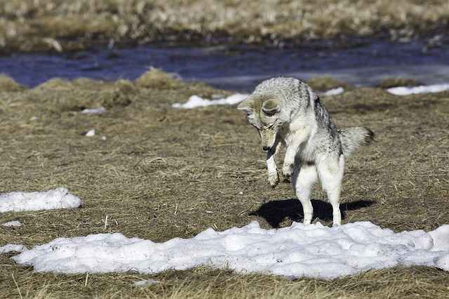 what can coyotes do to humans