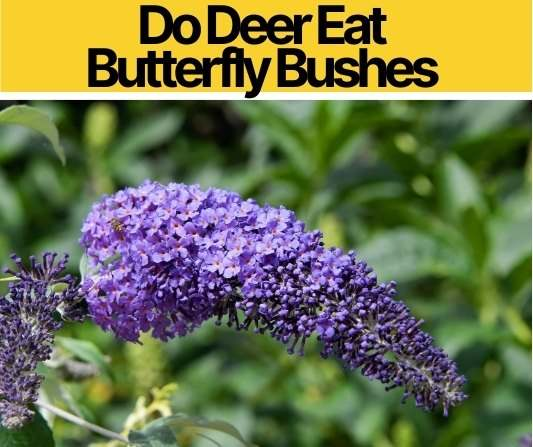 Do Deer Eat Butterfly Bushes