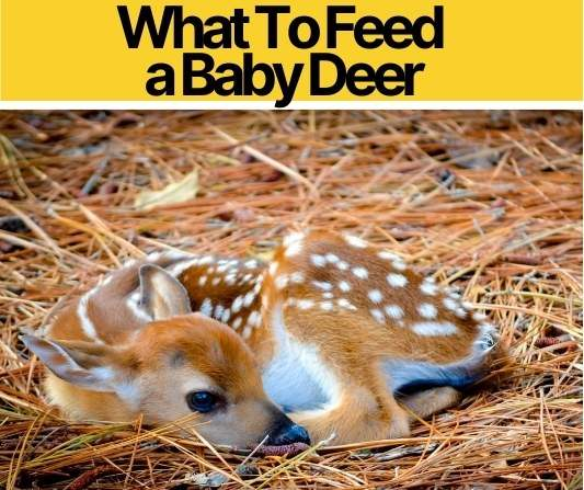 What To Feed a Baby Deer