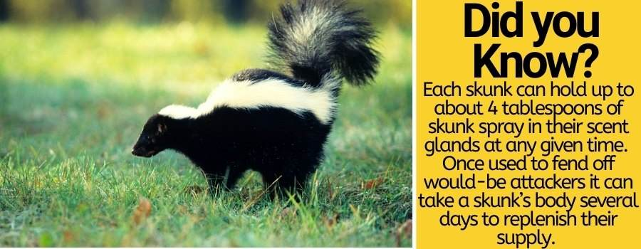 purpose of skunks