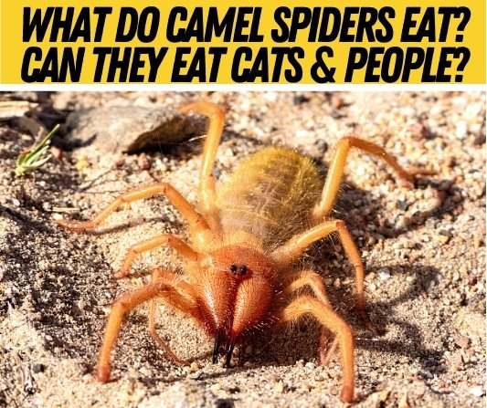 what do camel spiders eat